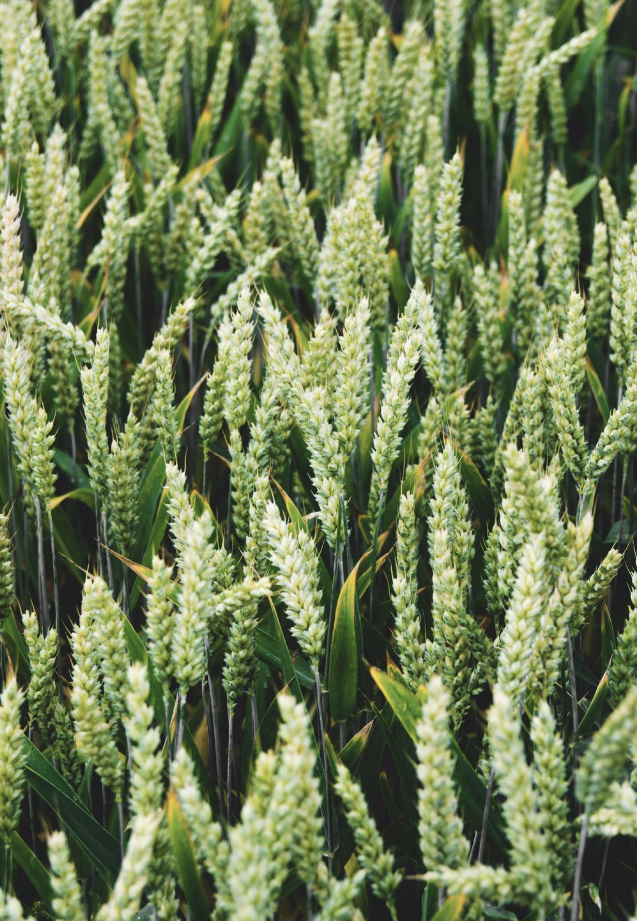 Closeup image of young growing wheat