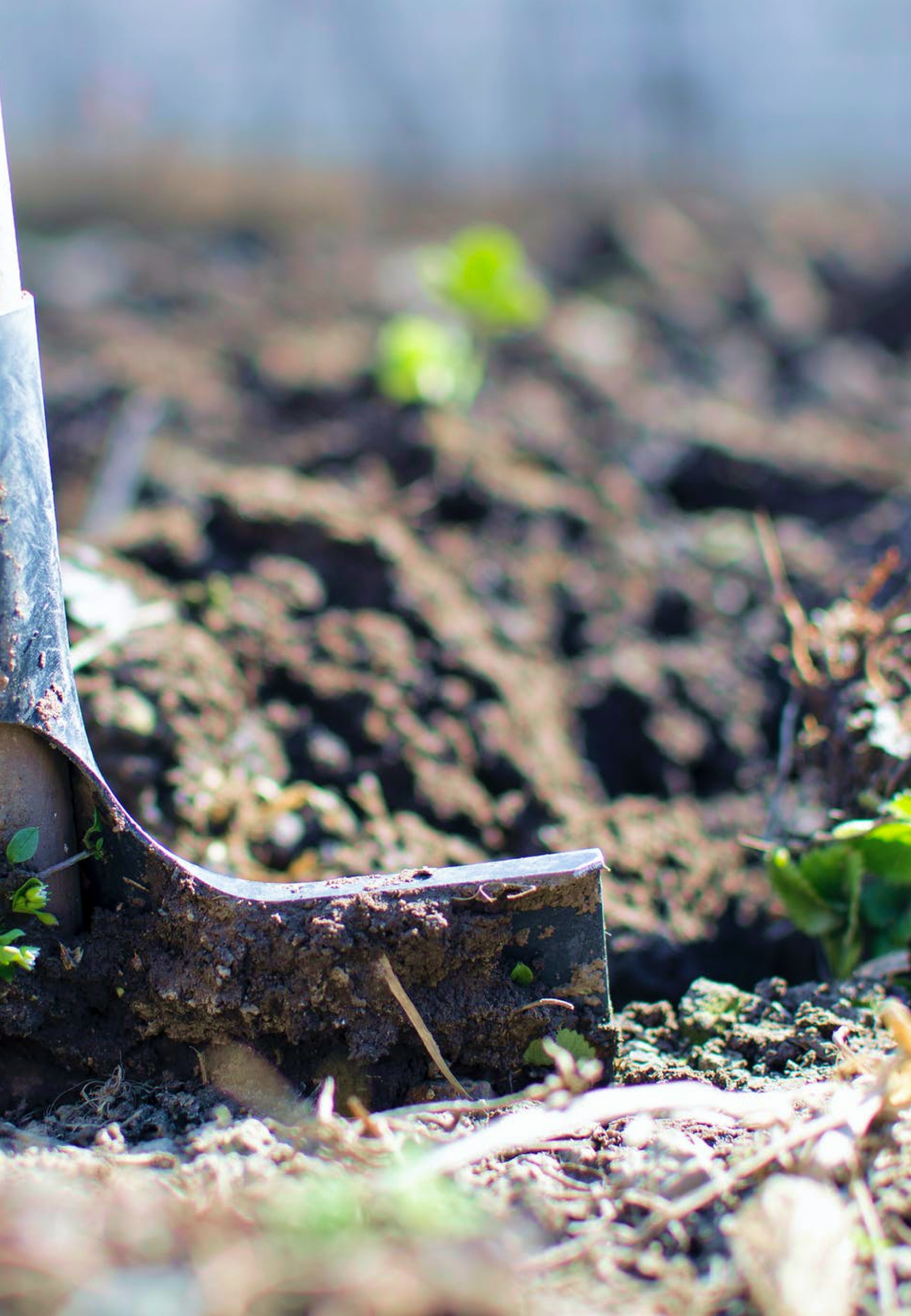 A closeup image of a shovel digging up fresh soil