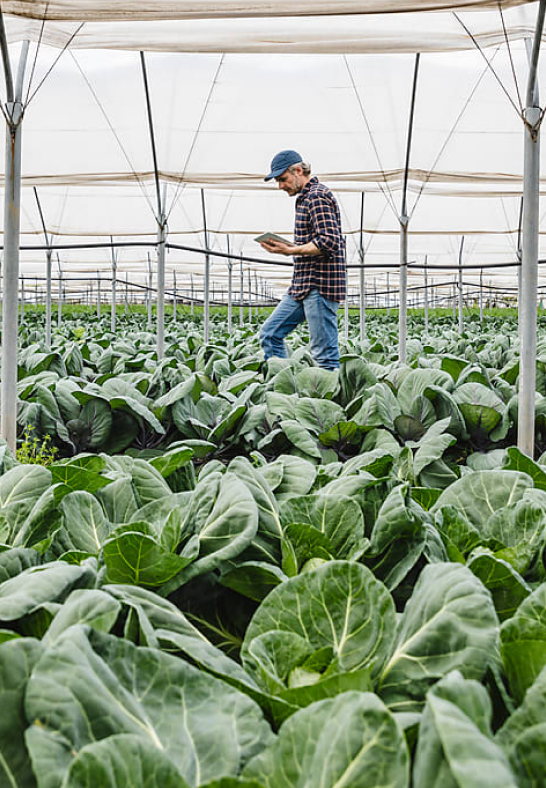 A farmer checking crops growing inside of a greenhouse