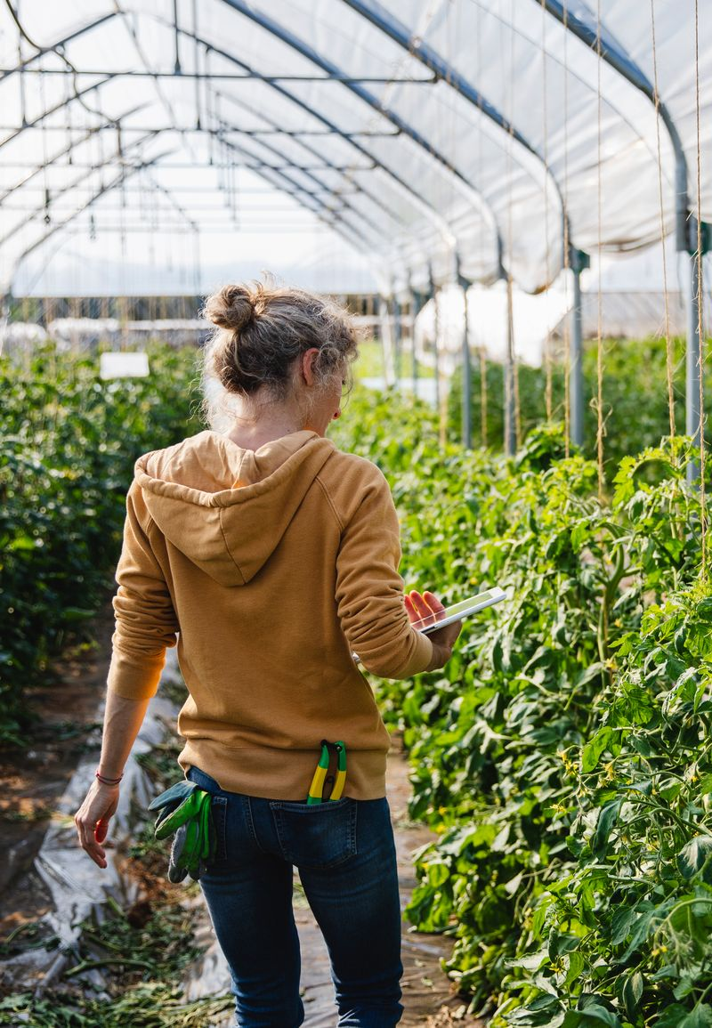 A farmer in a bright greenhouse, inspecting growing produce