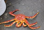 <p>Королевский камчатский краб (red king crab, Paralithodes camtschaticus), выловлен в водах Баренцева моря. Краб называется камчатским, потому что в шестидесятых годах его сюда завезли с берегов Камчатки.<br><br>Мы выбираем только те технологии, которые сохраняют все свойства мяса краба:</p><ul><li>Сразу после поднятия ловушек с живой добычей из воды, крабов варят в солёной воде и резко замораживают. Всё это происходит на борту судна, чтобы не терять драгоценного времени: чем быстрее обработка, тем вкусней будет мясо.</li><li>Мясо остаётся в панцире и хитине, чтобы не вступать в контакт с внешней средой и сохранять знаменитые вкусовые качества королевского краба.</li></ul><p><br><br><br><span>Eric Heath</span><span>Maltesen</span></p><p></p>