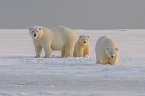 Bilde av en isbjørnfamilie.