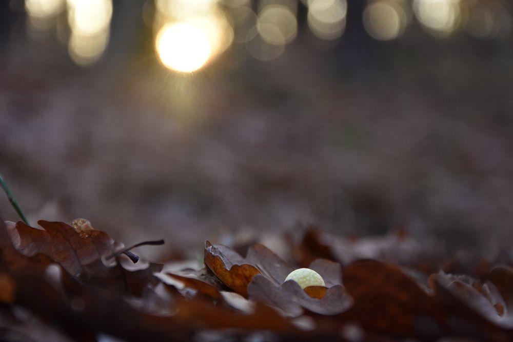 Duběnka v listí