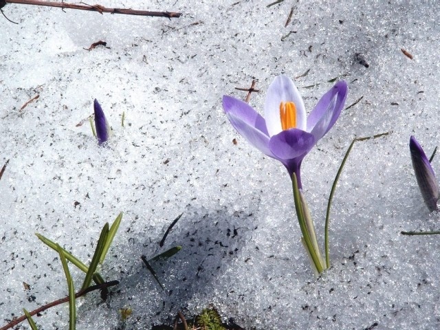 Tulilp flower in the snow