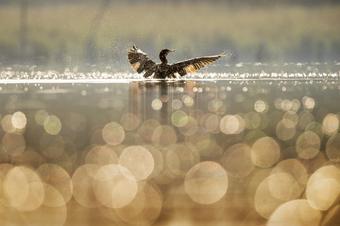 Duck splashing on lake
