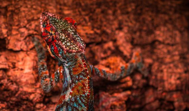 lizard showing colors against rock