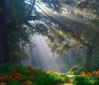 Forest light coming down through trees