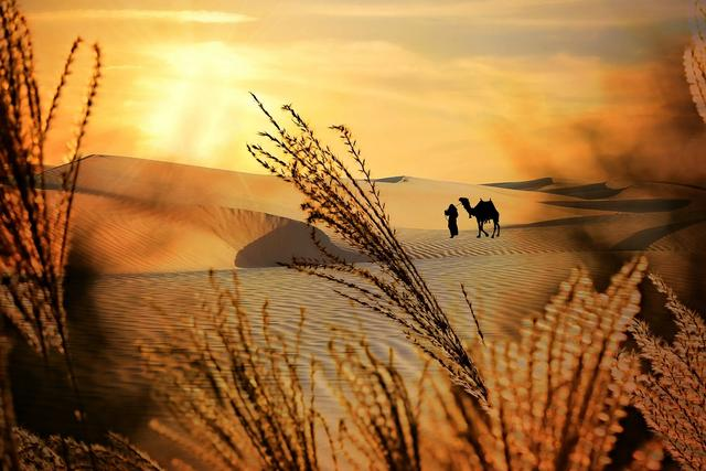 camel with handler on dune with sunset