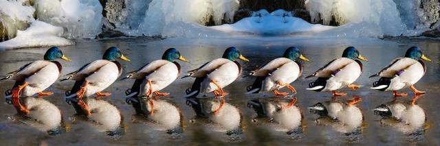 ducks marching on beach