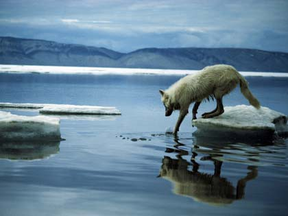 Wolf stepping into icy water