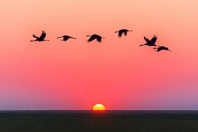 Geese flying in sunset sky