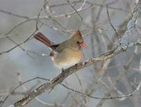 cardinal on tree limb in snowy landscape