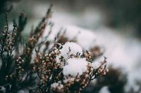 Snowmelt on bushes