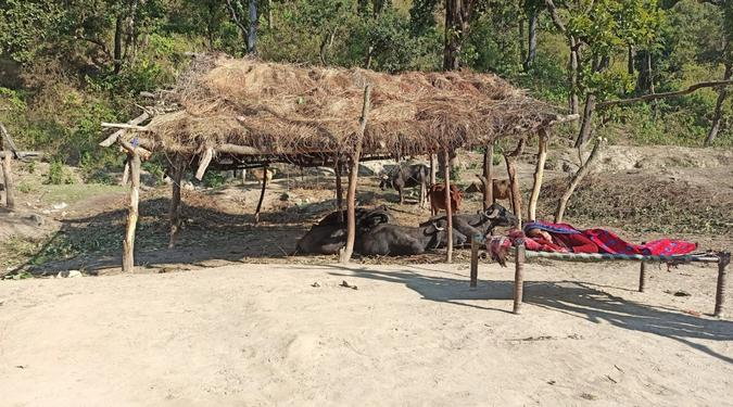 A woman lies in the sun next to her buffaloes