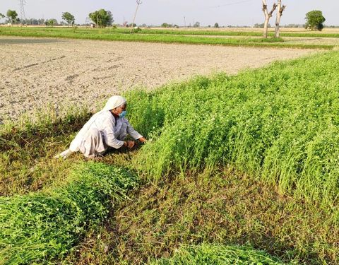 Dalit woman working in the fields in Punjab with surgical mask on