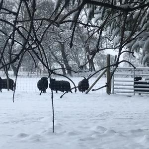 Black sheep are easy to find in the snow ...