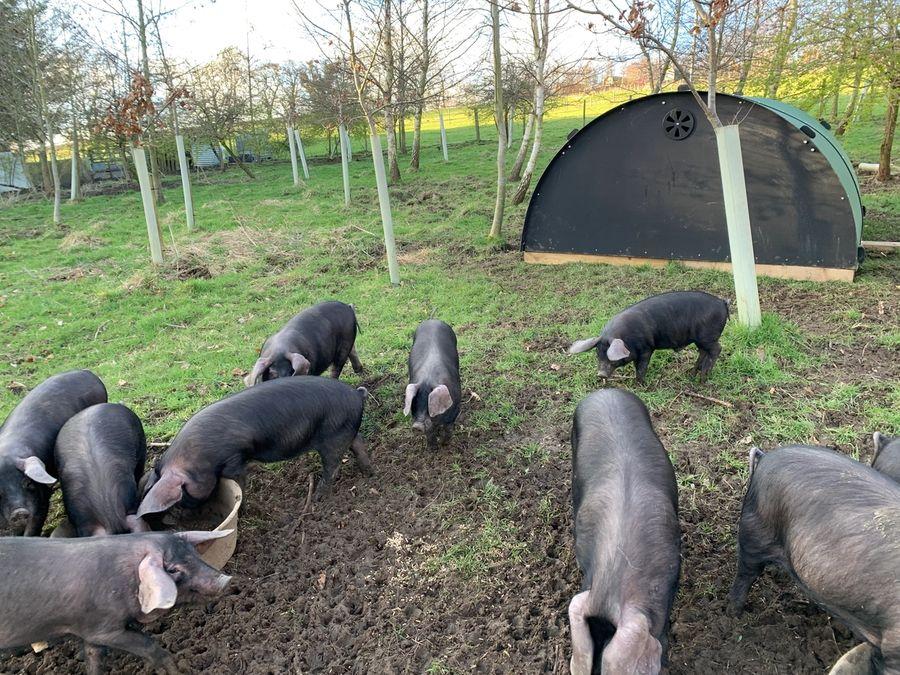 Large Black Piglets Arrive
