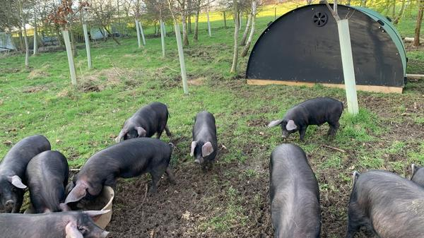 Large Black Piglets Arrive