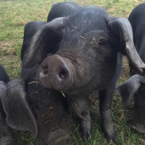 The (not so) large black pigs