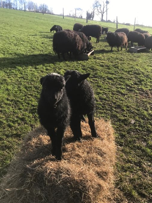 Lambing 2021