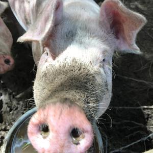 Landrace Pigs