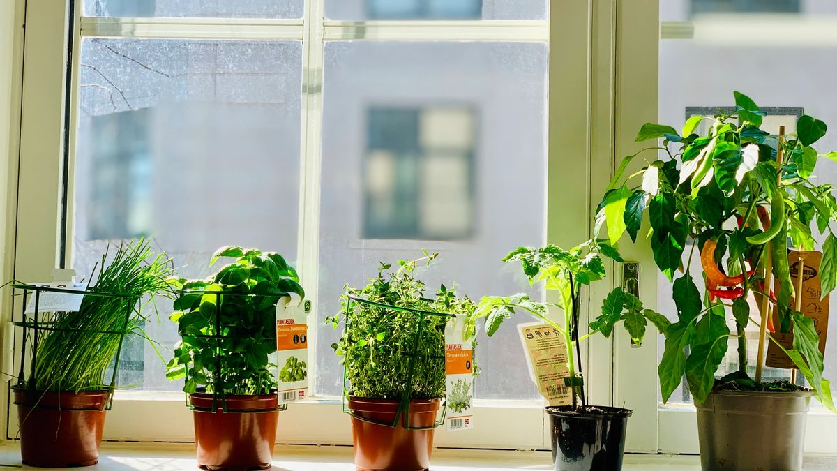 A bunch of herb plants, a tomato plant and a chili plant in a window sill