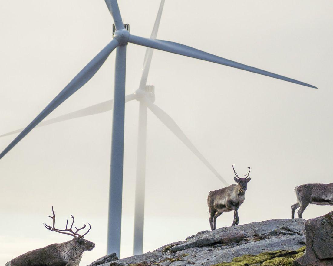 Åfjord Fosen 20201013.   Reinsdyr vandrer rundt vindmøllene på Storheia vindpark, som er den største av vindparkene i porteføljen til Fosen Vind, og den andre av vindparkene som ble bygget. Da den ble overført til ordinær drift i februar 2020 var den Norges største med 80 turbiner og en installert effekt på 288 MW.   Foto: Heiko Junge / NTB