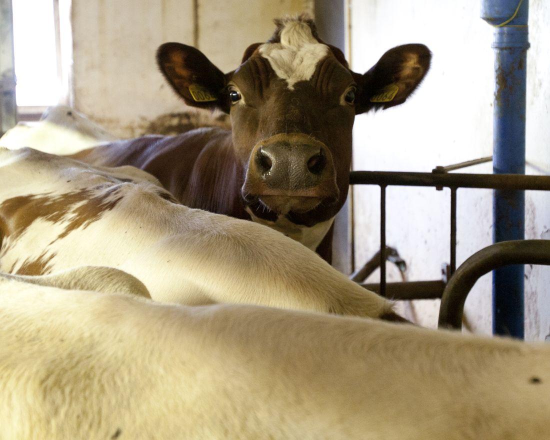 Landbruk, jordbruk, husdyr, melkekyr, ku, fjøs      Foto: Tom Henning Bratlie/Klassekampen