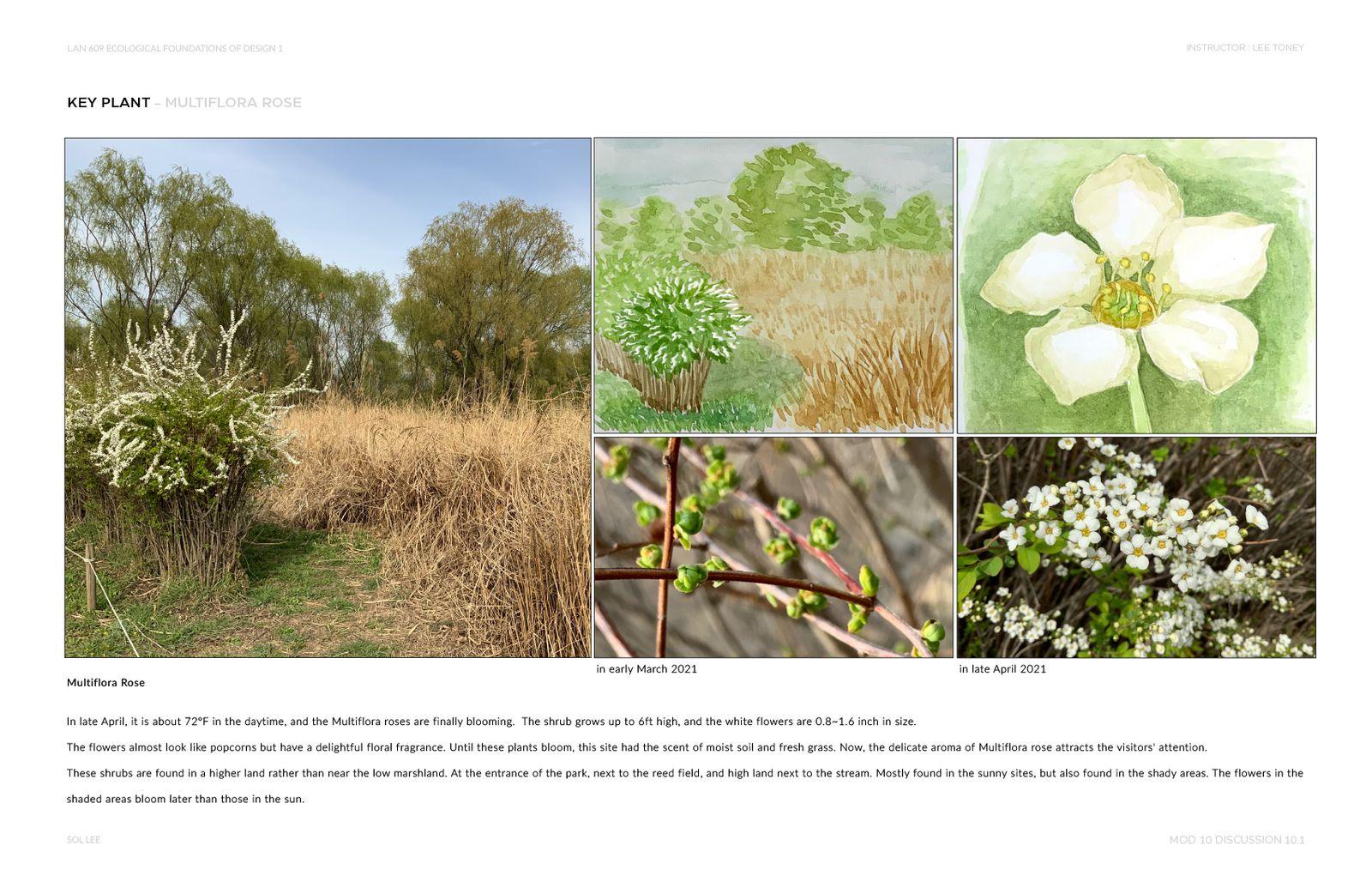 Gangseo Wet Ecology Park - Key Plant - Multiflora Rose