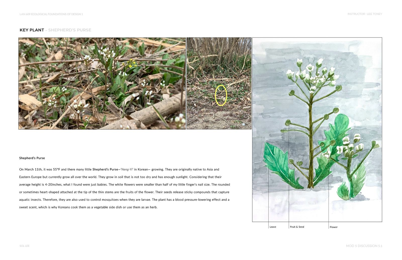 Gangseo Wet Ecology Park - Key Plant - Shepherd's Purse