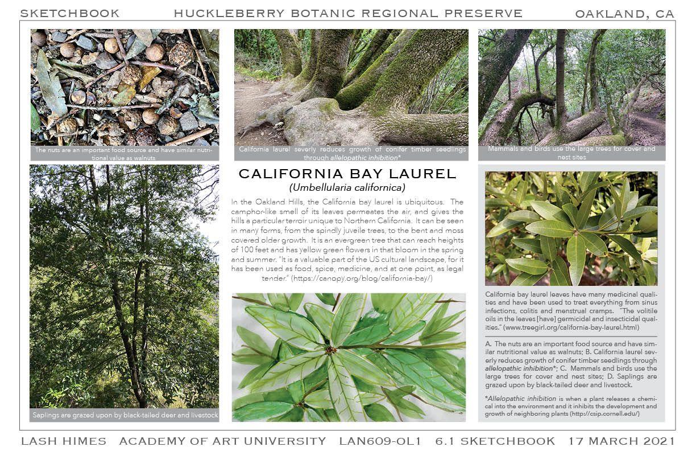 Huckleberry Botanic Regional Preserve - California Bay Laurel