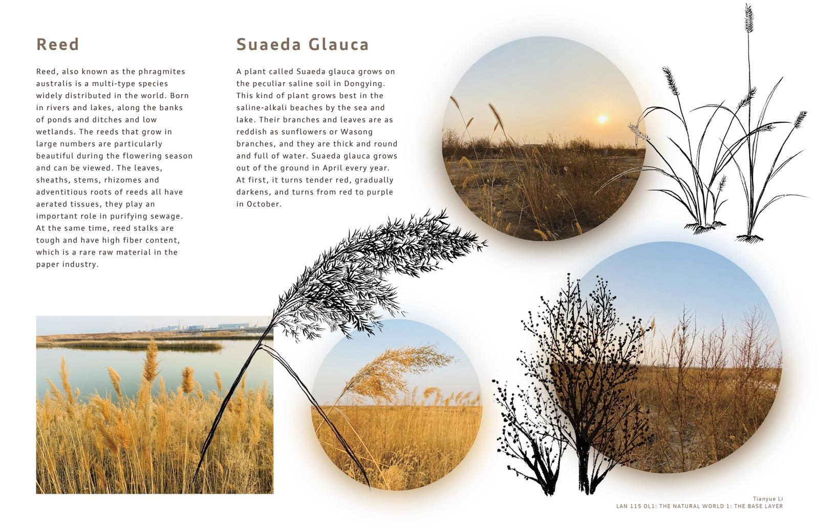 Reed/Suaeda Glauca