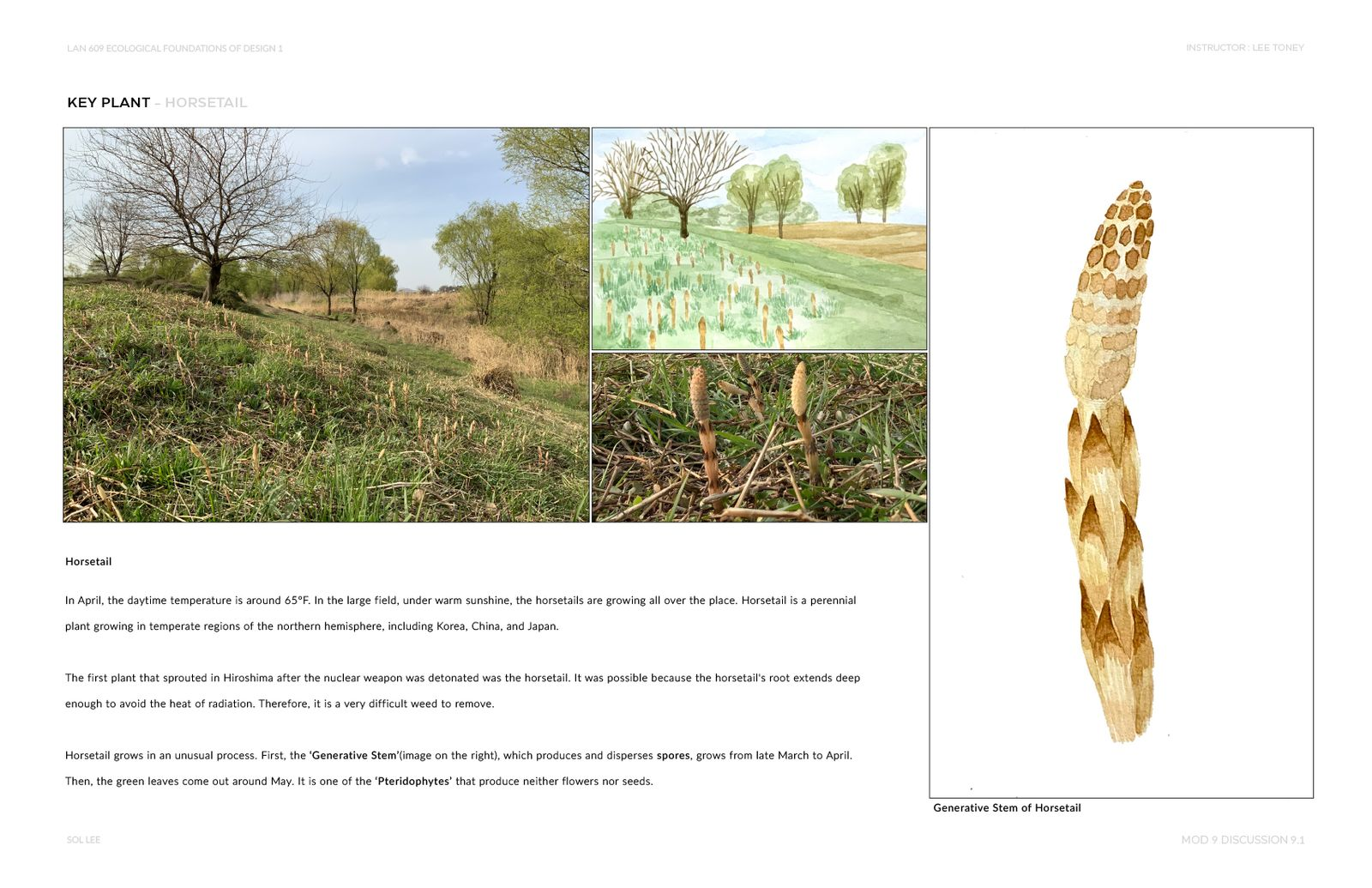 Gangseo Wet Ecology Park - Key Plant - Horsetail