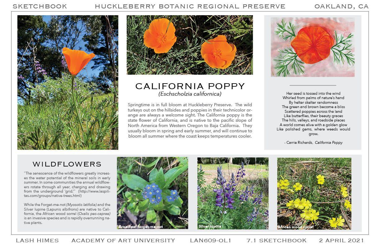 Huckleberry Botanic Regional Preserve - California Poppy/Wildflowers