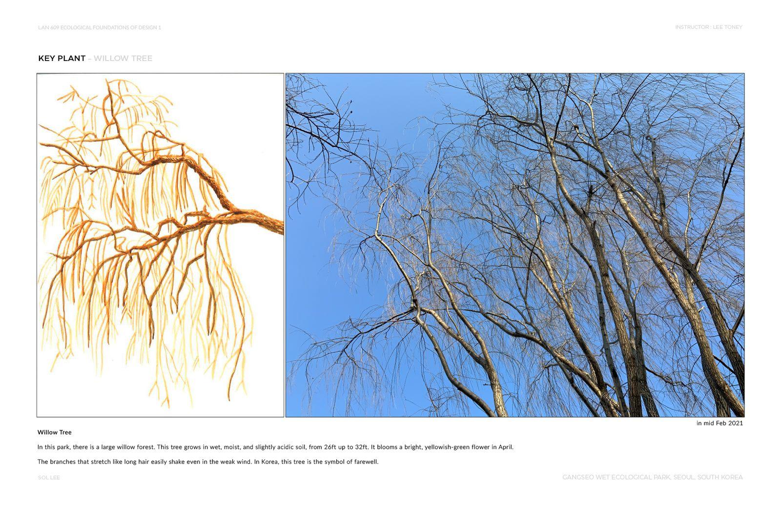 Gangseo Wet Ecology Park - Key Plant - Willow Tree