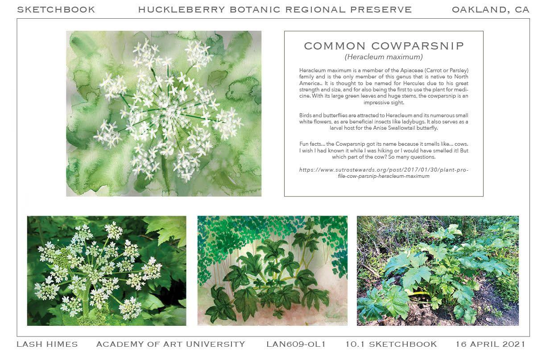 Huckleberry Botanic Regional Preserve - Common Cowparsnip