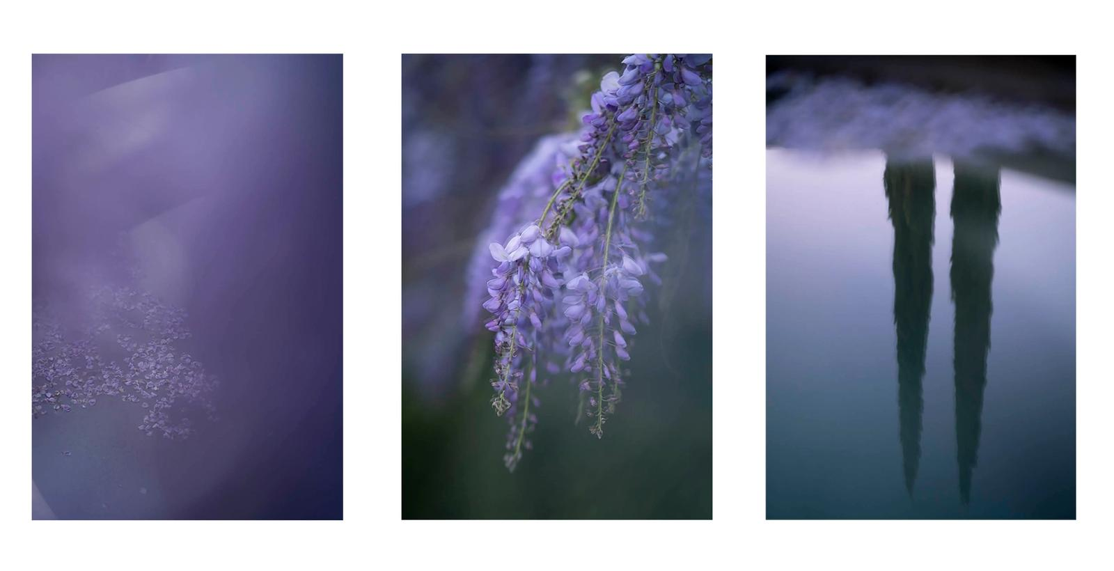 Wisteria Reflections