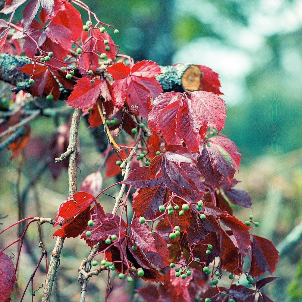 Closeup photo of red leaves drenched in rain.