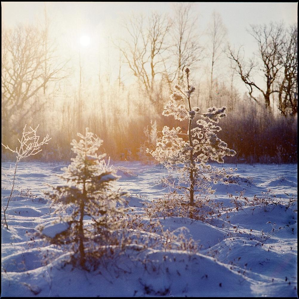 Photo of small Christmas trees being illuminated by rising sun.