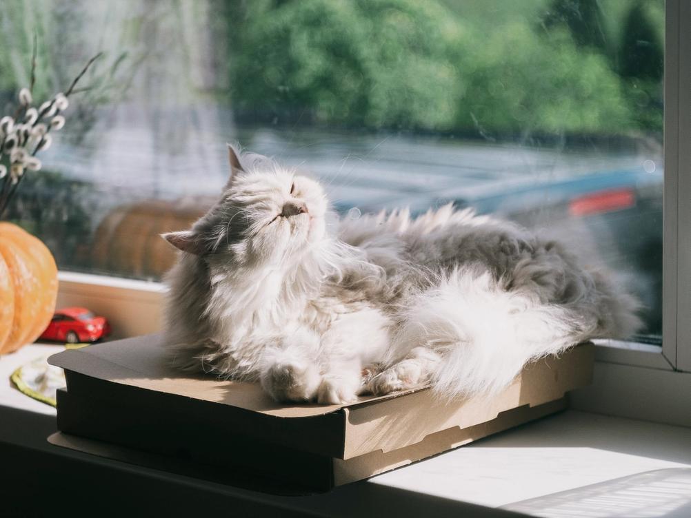Photo of a white cat next to window enjoying some sunlight.
