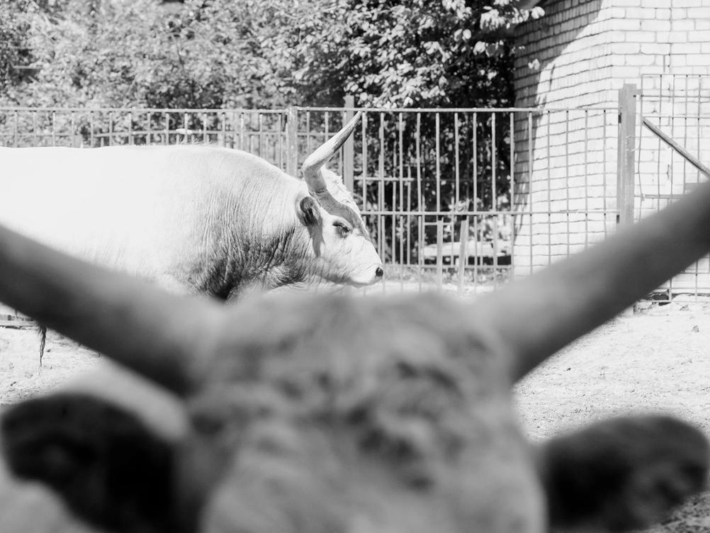 Photo of a long-horned bull taken through the horns of another long horned bull.