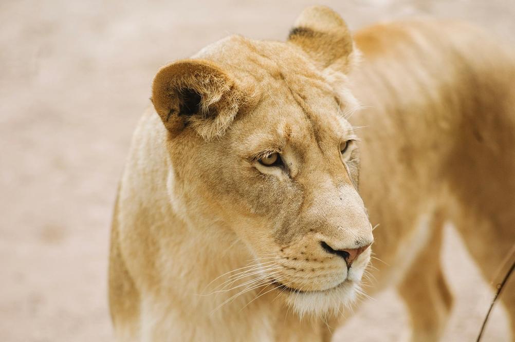 Portrait of a lion.