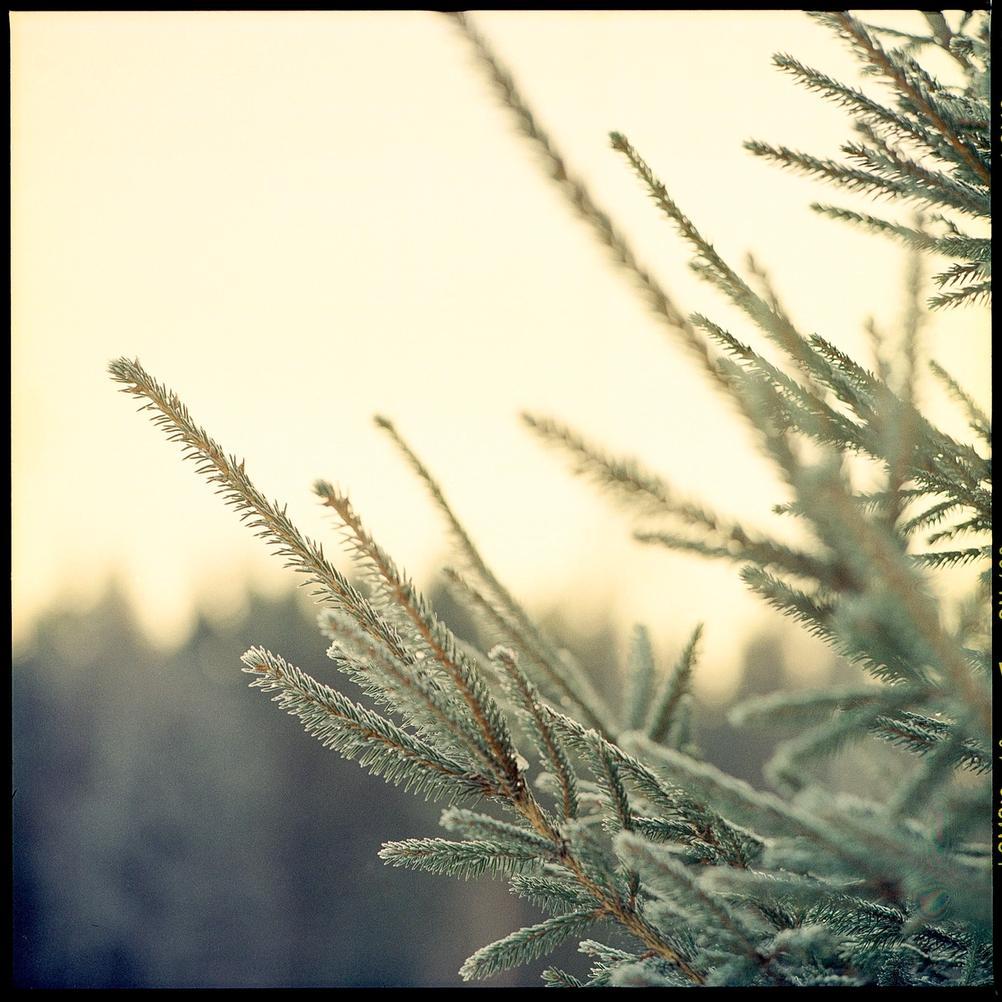 Closeup photo of a Christmas tree.