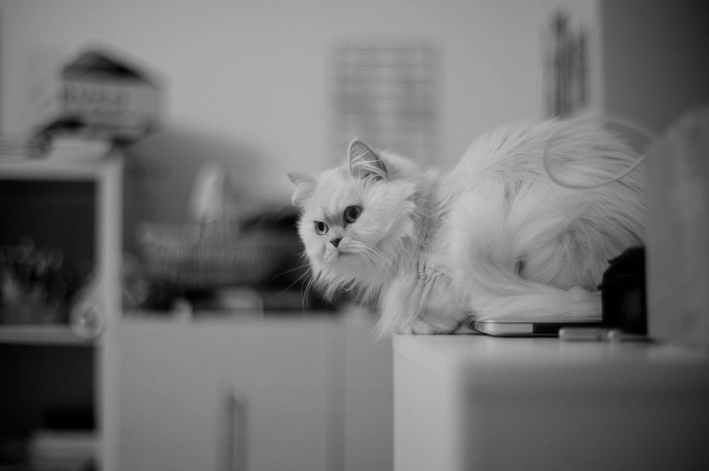 Photo of a white cat.
