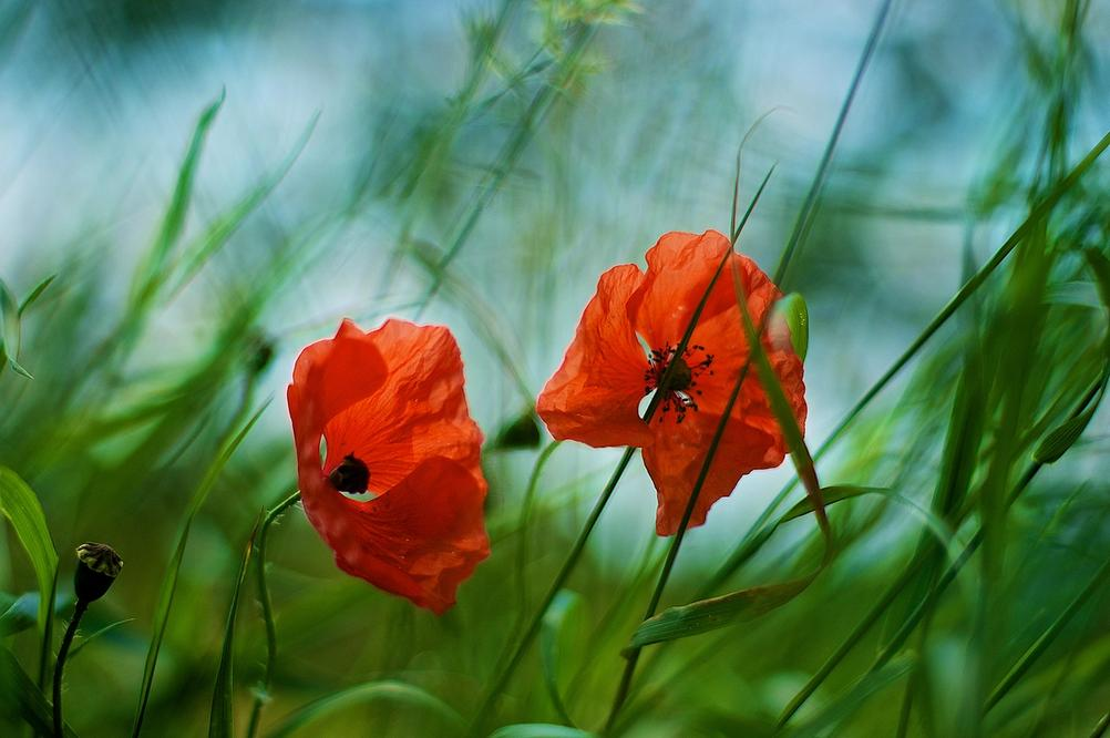 Picture with two red flowers with a highly blurred background.