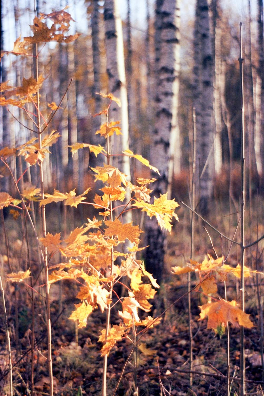 Photo of a small tree with leaves in autumn colors.