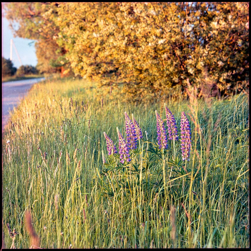 Photo of bright purple flowers in otherwise green surroundings.
