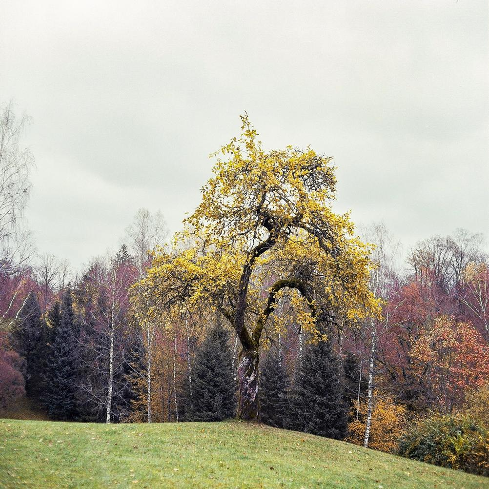Picture of a tree taken with Mamiya C220.