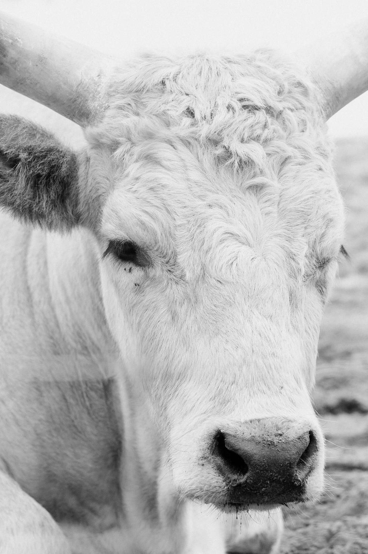 Photo of a sad animal with big horns.