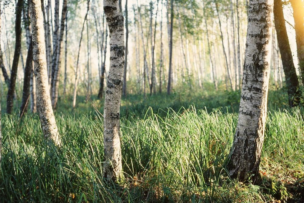 Photo of some birches in sunlight.